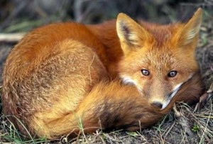 foxes-for-fur