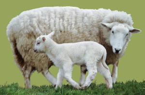 sheep-for-uggs