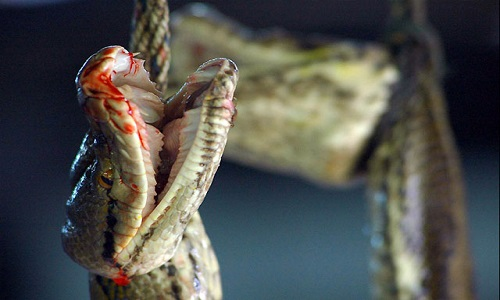 Close-up of bloody Python