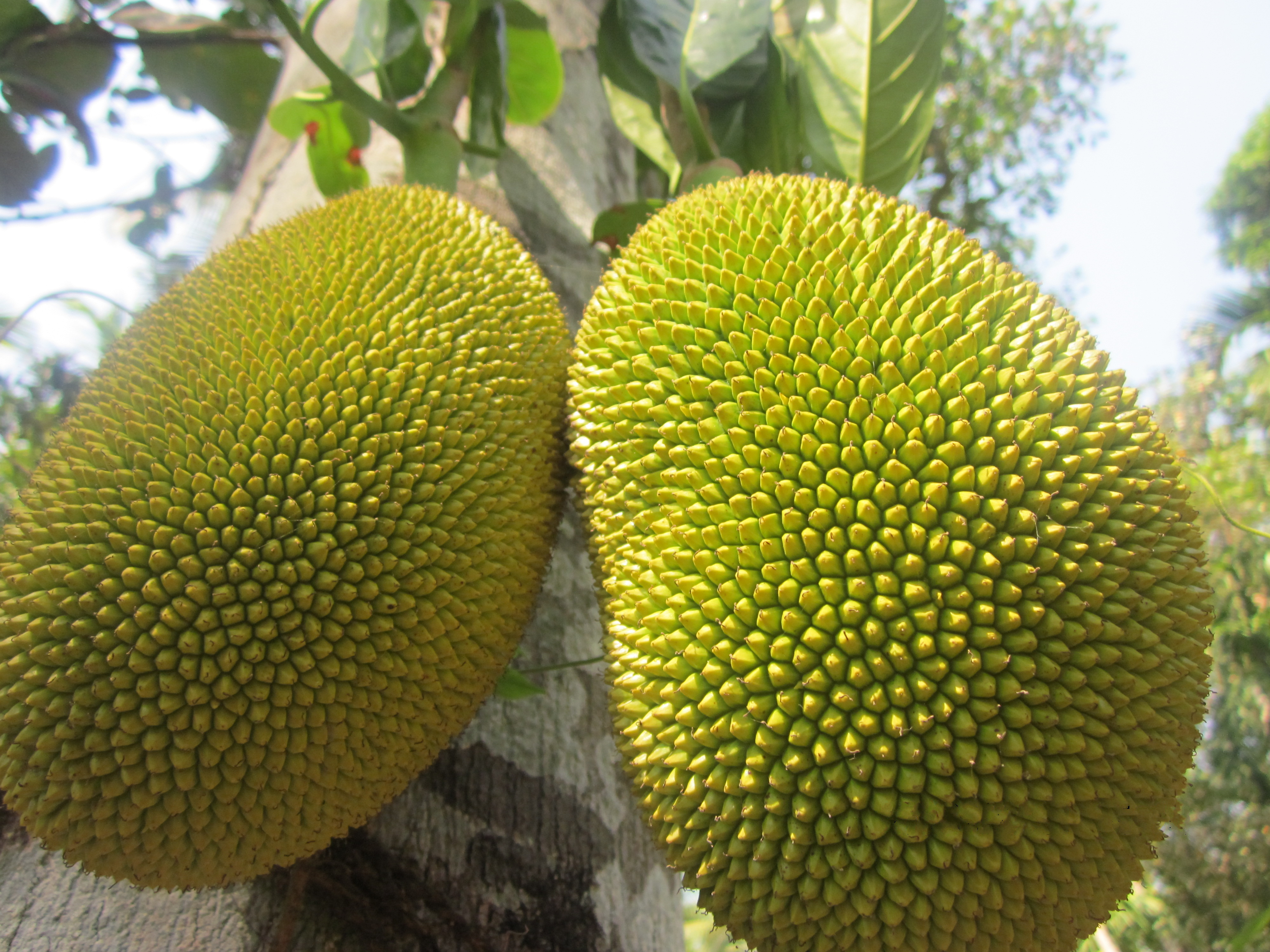 jackfruit- background, history, and origin of a unique fruit essay Rambutan facts and information commonly known as rambutan it is known botanically as nephelium lappaceum the rambutan is a tropical tree which belongs to the sapindaceae family and also the fruit of this tree.