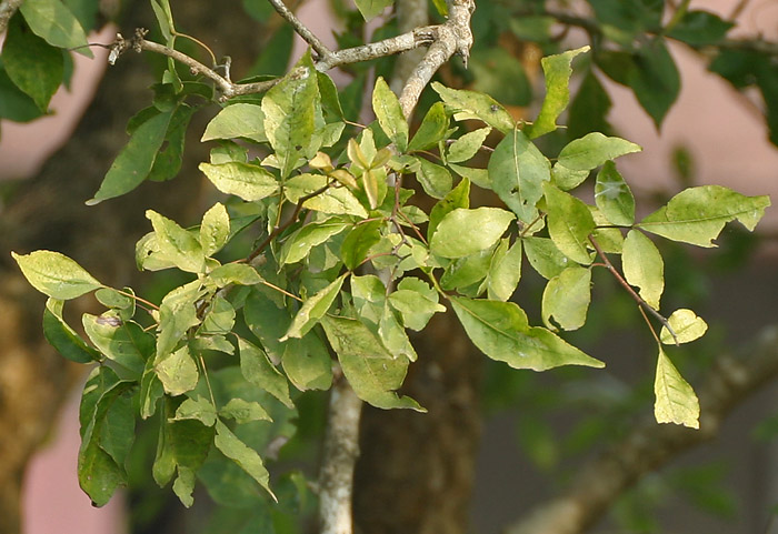 Bel Leaves