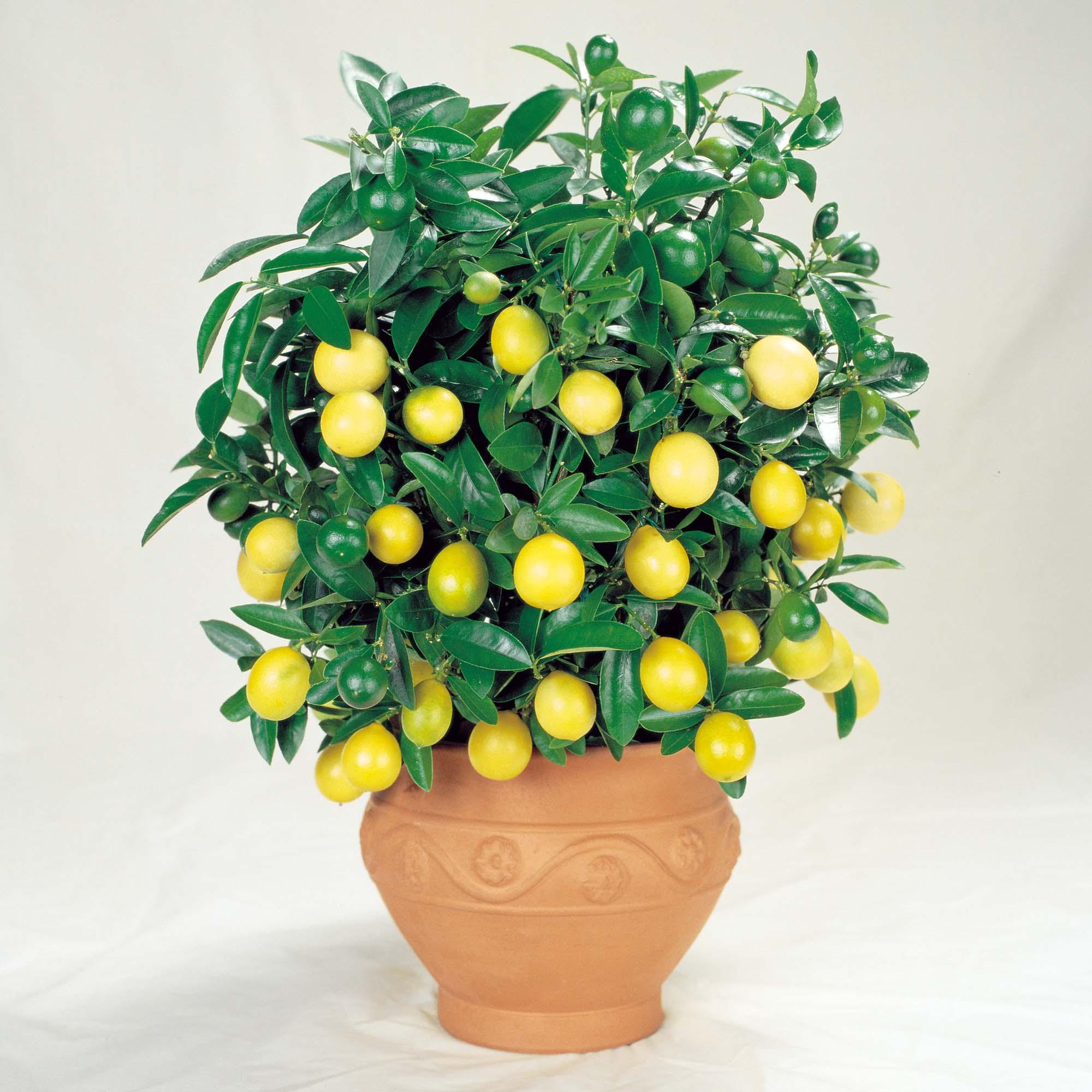Lemon-pot