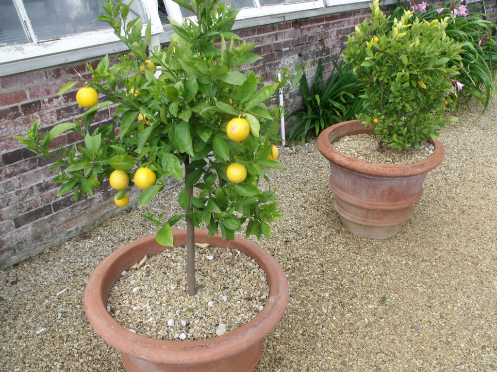 Lemon-tree-container