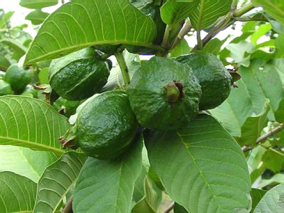 7 Amazing Benefits of Guava Leaves for Skin and Hair