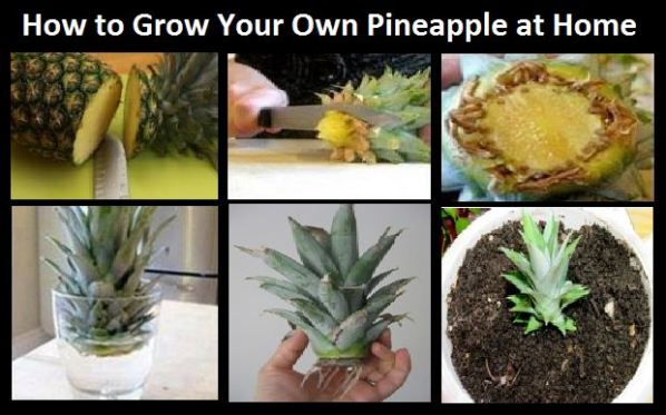 How To Plant A Pineapple At Home