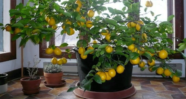 How to Grow a Lemon Tree Easily in Your Home