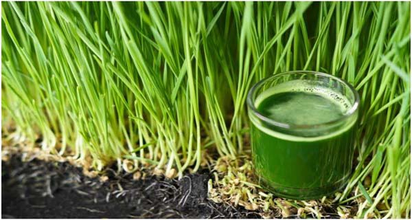 Wheatgrass Hair conditioner