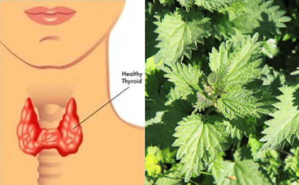 4 Herbs to Treat Many Thyroid Conditions Naturally and Effectively!