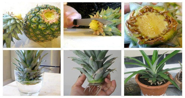 How-To-Grow-A-Pineapple-From-Another-One-Easily
