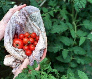 Grow the Perfect Tomato Plant From Cuttings