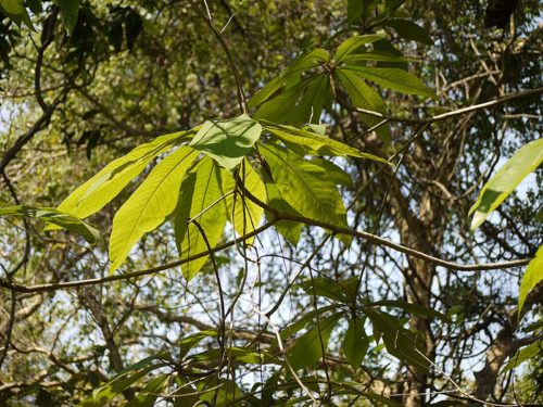 Malabar Nut Tree photo